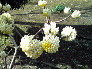 ミツマタ(三叉)の花