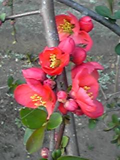 花開くボケ(木瓜)