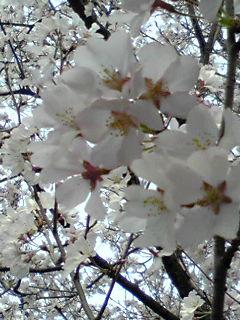 さくら・サクラ・桜で埋め尽くします