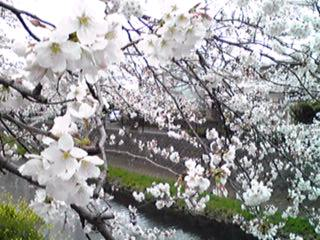 サクラ咲く散歩道〜2013