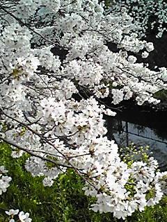 今夜は満月の代わりに逆さ桜を
