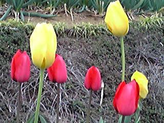 雨だから明るく楽しいチューリップの花を