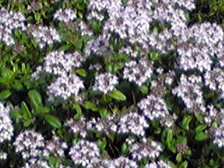 タイム(ハーブ)の花