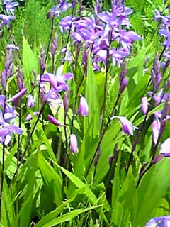 シラン (植物)の画像 p1_6