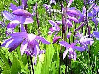 シラン (植物)の画像 p1_1