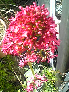 レッドバレリアン(ベニカノコソウ・紅鹿子草)がいっぱい咲き始めています♪
