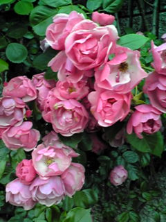 春から梅雨時までのバラ(薔薇)の季節