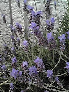 涼しげなラベンダーの花
