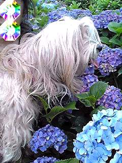 今年の花とミント姫は紫陽花と