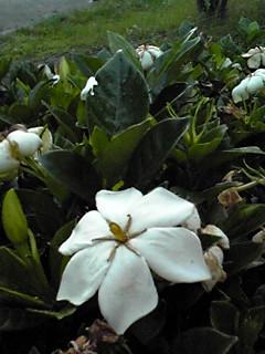 雨の中のクチナシの花
