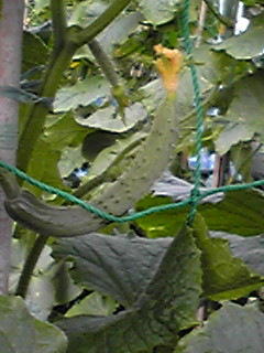 朝の畑の夏野菜(キュウリ)