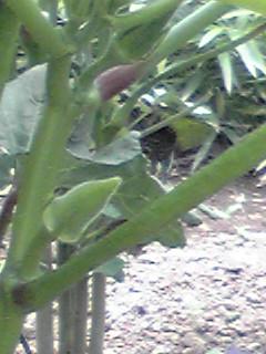 朝の畑の夏野菜(枝豆、オクラ)