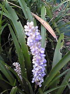 ヤブラン(薮欄・リリオペ・サマームスカリ)の紫色