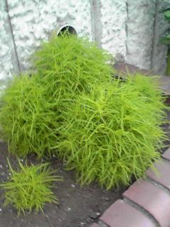 ホウキグサ(コキア、ホウキギ)の緑が綺麗です!