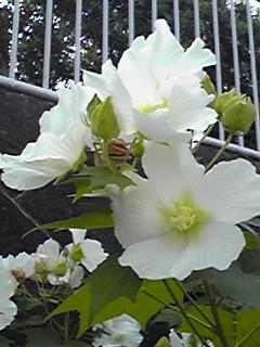 美しい真白きフヨウ(芙蓉)の花