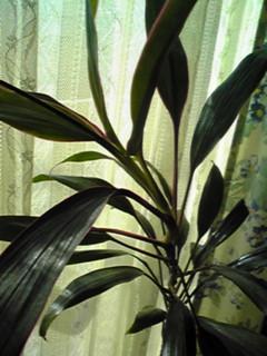 忘れてた、直さん(高橋直純)10周年の記念樹はドラセナ・サンデリアーナ