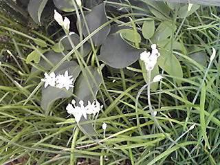 ニラ(韮)の花が咲き始めました