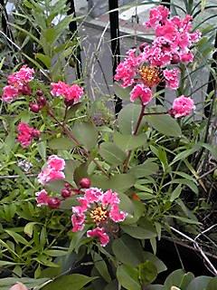 わが家の鉢植えサルスベリ(百日紅)