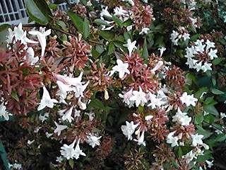 リベリア(ハナツクバネウツギ)春から秋まで咲くお花