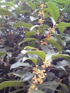 今年も香りが教えてくれた金木犀(キンモクセイ)の開花