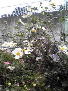 シュウメイギク・秋明菊(貴船菊、秋牡丹など)