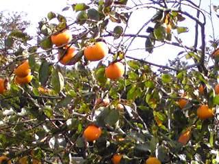 秋の味覚(柿・カキ)