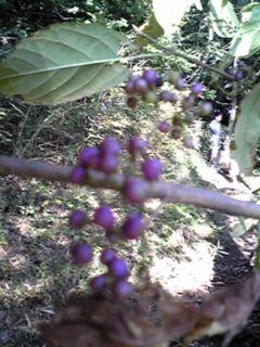 里山を散策(紫色の実)