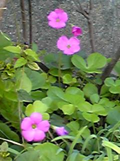 冬咲きのオキザリス