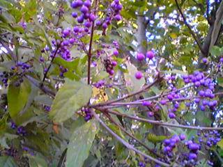 紫式部(ムラサキシキブ)ふたたび