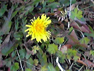 寒そうなタンポポの花