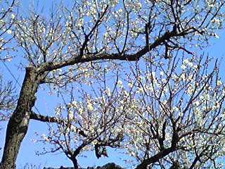 青空に七分咲きの梅の花♪