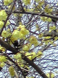 臘梅(ロウバイ)の花