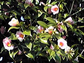 何とも愛らしいツバキ(椿)の花です♪