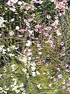 紅白の枝垂れ梅です!