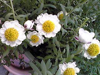 ハナカンザシ(花かんざし)今年は元気♪