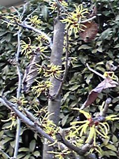 マンサク(満作、万作)の花