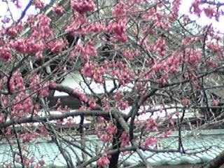 寒緋桜(カンヒザクラ・緋寒桜)は一番最初に咲くサクラ♪