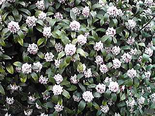 沈丁花(ジンチョウゲ・チンチョウゲ)が香って…♪