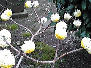 直さん(高橋直純)デビュー12周年の前夜祭♪行こうね〜!(ミツマタのお花で直祭り〜♪)華やかに☆