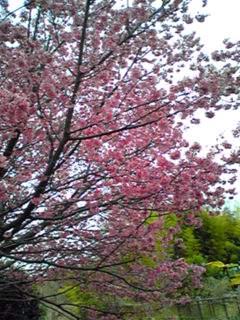 今日は直さん(高橋直純)12周年のデビュー記念日なので満開のこの桜でお祝いします!(おめでとう
