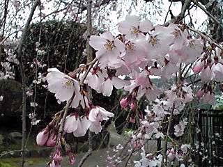 枝垂れ桜は今年も見事な咲き姿♪