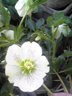 わが家の春の定番も沢山咲きはじめています♪(シュンラン・クリスマスローズ)