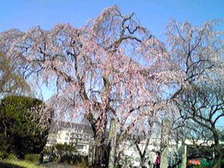 青空と満開に成った枝垂れ桜を…!!