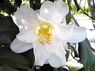 真っ白で大きなツバキ(椿)が綺麗です♪