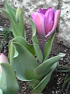 花壇を彩るチューリップの花