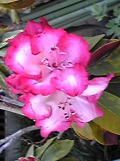 月出帯食は余りよく撮れなかったので早咲きのシャクナゲ(石南花)のお花もね!