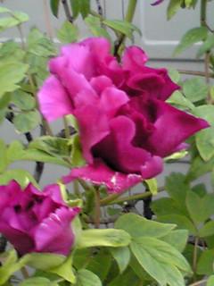 この近くでは一番最初に咲くボタン(牡丹)が咲き始めました!