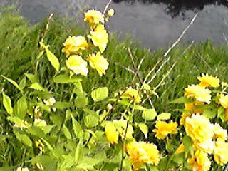5月発売の直さん(高橋直純)掲載雑誌情報!&八重と言うより百重咲きのヤマブキ(山吹)の花