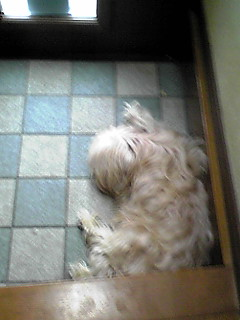 今日も今日とて…眠り犬w(ミント姫)