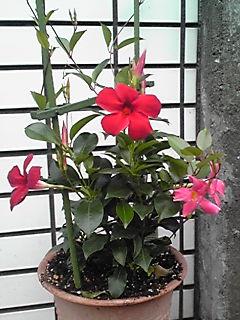 サンパラソルビューティは、つる性で半耐寒性の植物です!